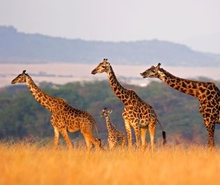Getty giraffes in Masai Mara