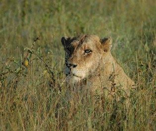 Lion in South Africa savannah