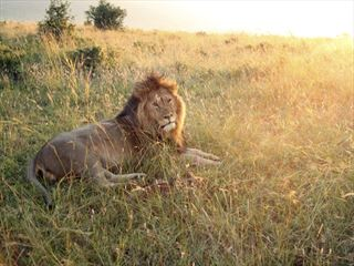 Lion at sunrise in the Masai Mara