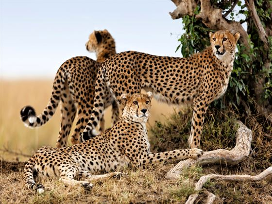 Cheetah family, Masai Mara