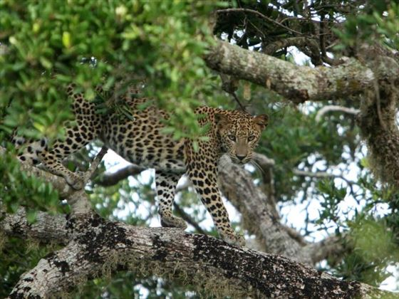 Leopards at Noel Rodrigo's Leopard Safaris