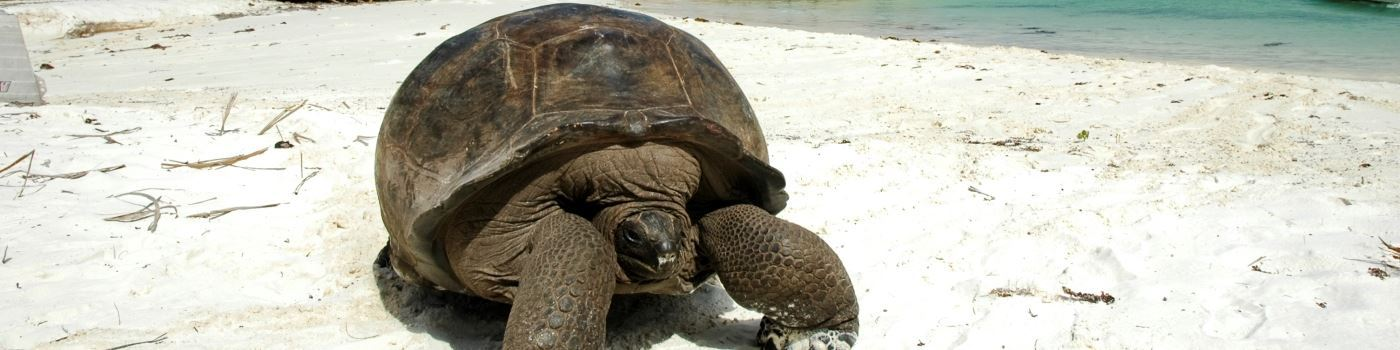 Giant tortoise in the Seychelles