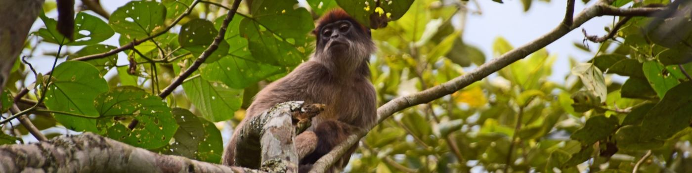 Mike Collins' primate in Kibale NP