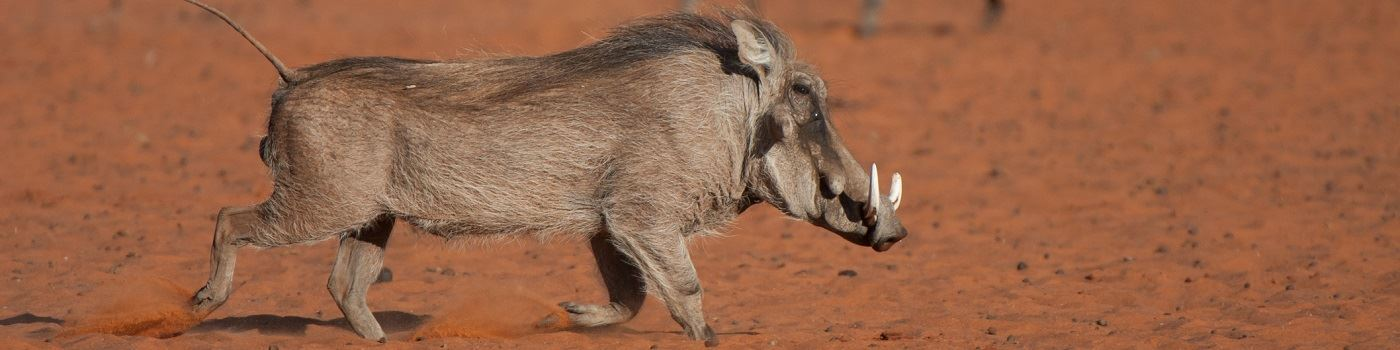 Tswalu Kalahari Private Game Reserve warthog