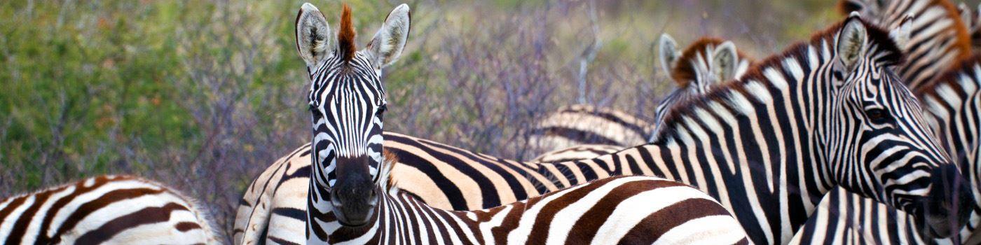 Getty zebra in Makgadikgadi Pans