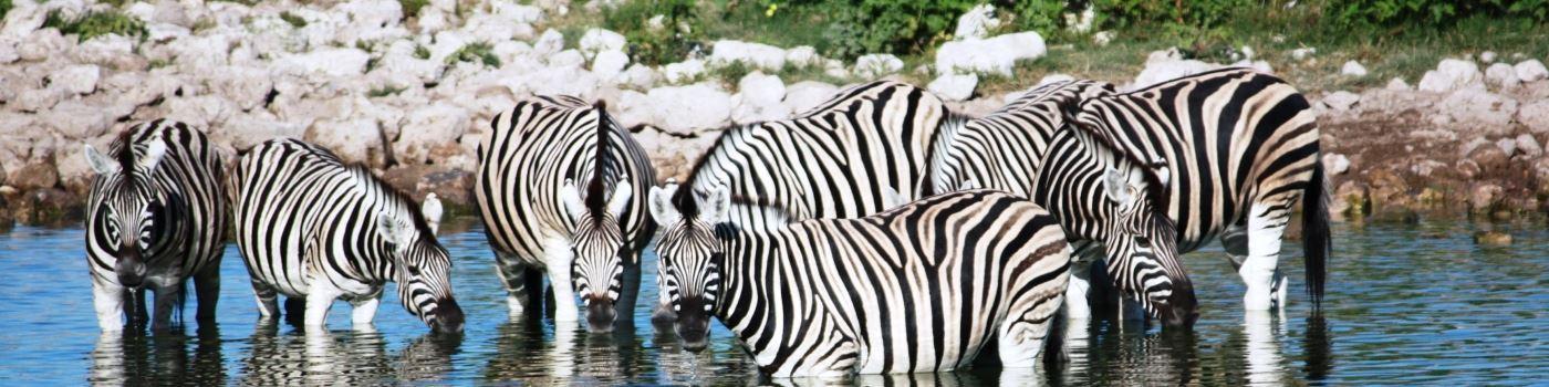 Getty zebra by Etosha NP waterhole