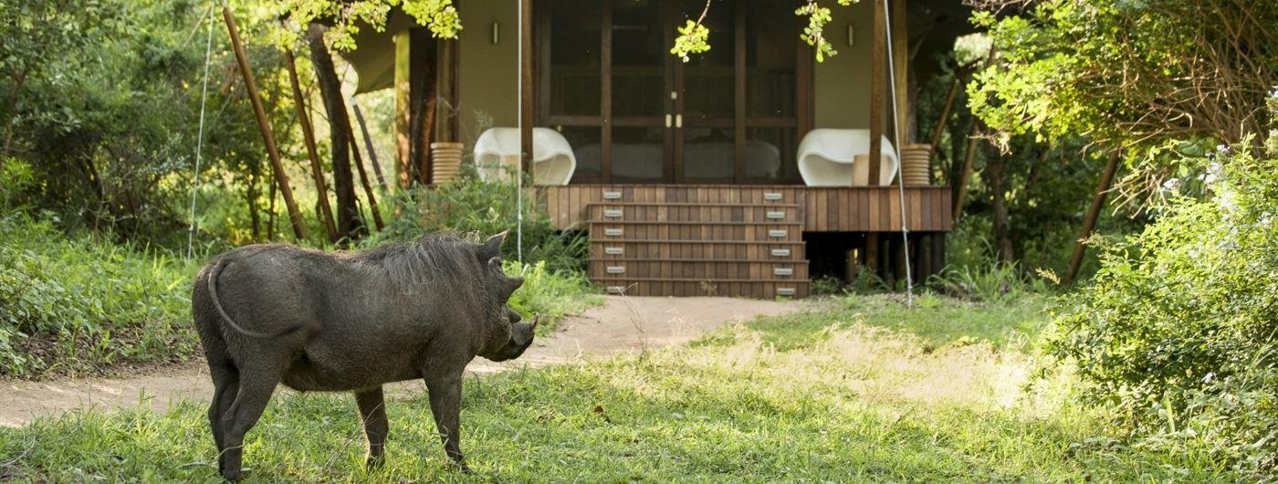 Warthog outside tent