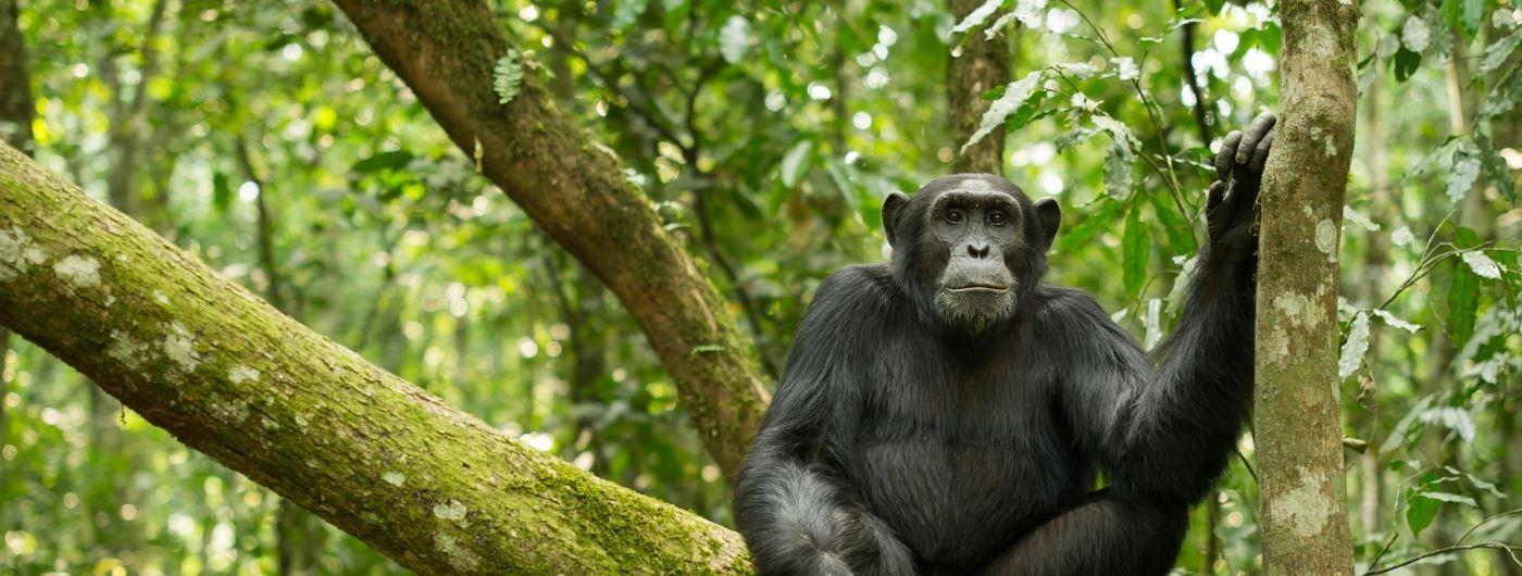 Chimpanzee in Kibale, Uganda