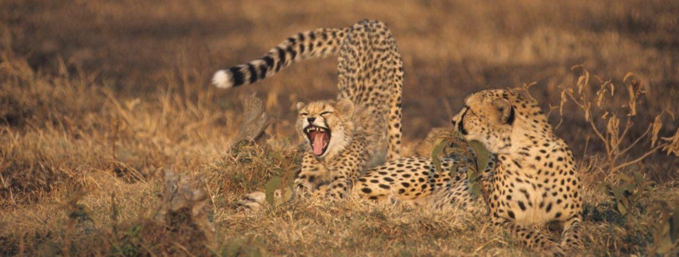 Karen Blixen Camp cheetah on game drive