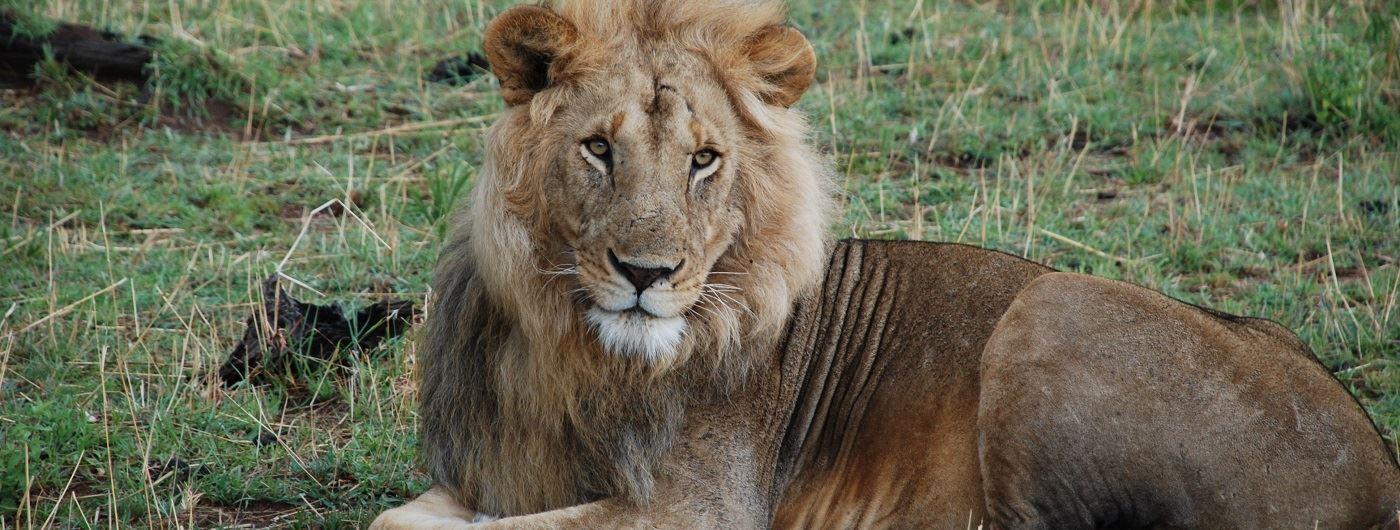 Male lion in Tanzania