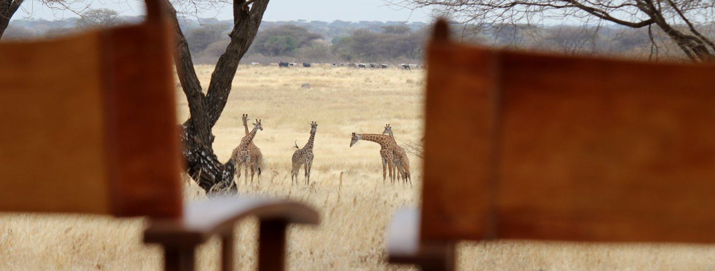 Manyara Ranch Conservancy giraffe close to camp