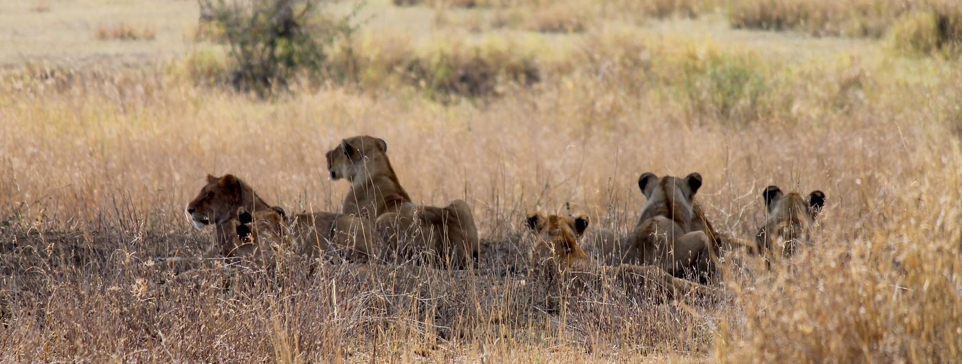 Lions on a game drive at Nimali Central Serengeti