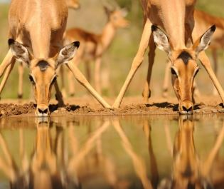 Antelope drinking in South Africa