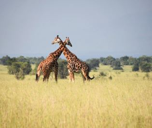 Mike Collins giraffe in Murchison Falls NP