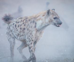 Hyena running in Kruger National Park