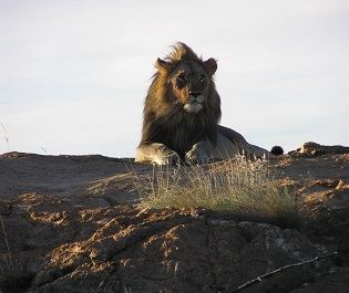 Lion in Nkomazi Game Reserve