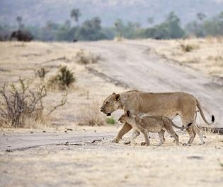 Lion in Ruaha - Getty