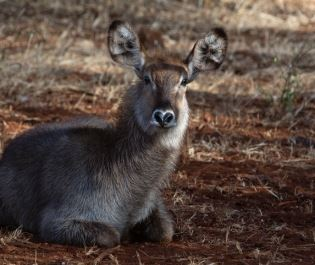 Getty image of waterbuck calf in Meru NP