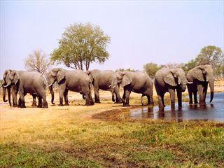 Elephants roam the delta