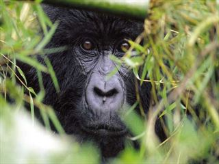 - Kenya's Big Five & Rwanda's Gorillas