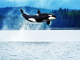 Orca breaching off the coast of Vancouver Island