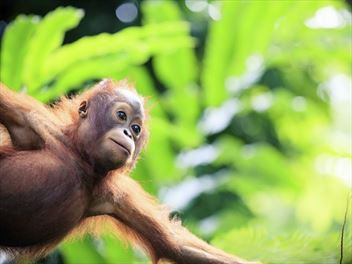 Visit the Orangutans in Borneo