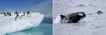 Adelie penguins jumping from iceberg and killer whale in Antarctic waters