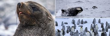 Sightings of seal, penguins & killer whale