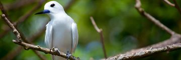 Fairytern in the Seychelles