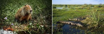 Native capybaras and caiman alligators in Ibera Wetlands, Argentina