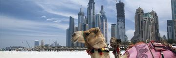 Camels resting on Dubai's beach
