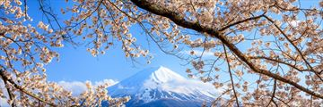 Cherry Blossoms and Mount Fiji Japan