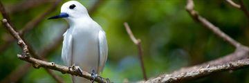 Fairy Tern Seychelles