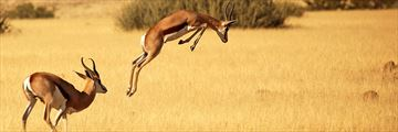 Gemsbok leaping in Namibia