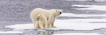 Polar bears in Churchill, Manitoba