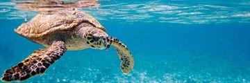 Hawksbill Turtle Seychelles