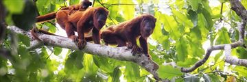 Howler monkeys in the Brazilian jungle