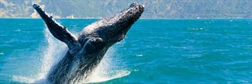 Majestic humpback whales in Maui