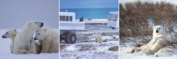 Incredible Polar Bear sightinga aboard the Tundra Buggy