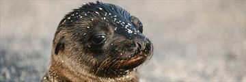 Intrepid travel, adorable seals on the Galapagos islands