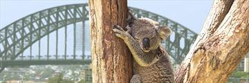 Koala bears in Sydney