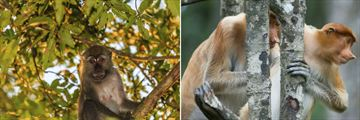 Macaque & Proboscis monkeys