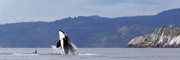 Orca spotting near Vancouver