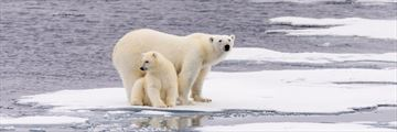 Polar Bears in the stunning Manitoba Scenery