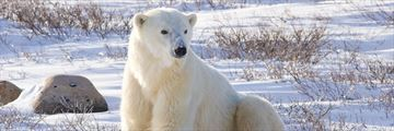Curious polar bear in Churchill, Manitoba