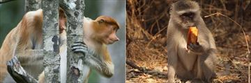 Proboscis monkeys and a monkey eating