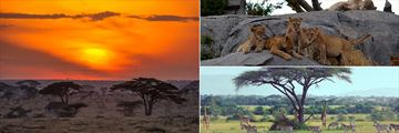 Serengeti Sunset, Lion Cubs, Zebras and Giraffes