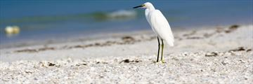 A snowy white egret resting on Bonita Springs beach