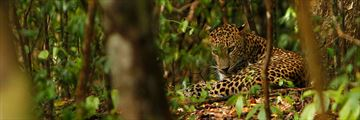 Sri Lanka Leopard Safari, Leopard in the Undergrowth