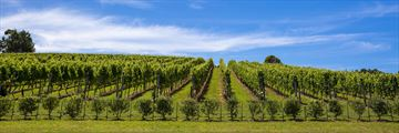 Waiheke Island's sweeping vineyards